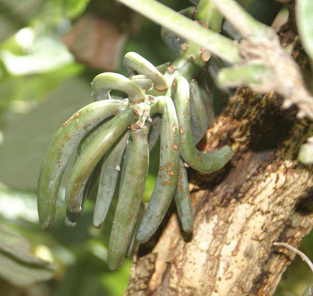 Seed pods of Vanilla roscheri growing on Erythrina latissima photo taken by Roddy JC Ward