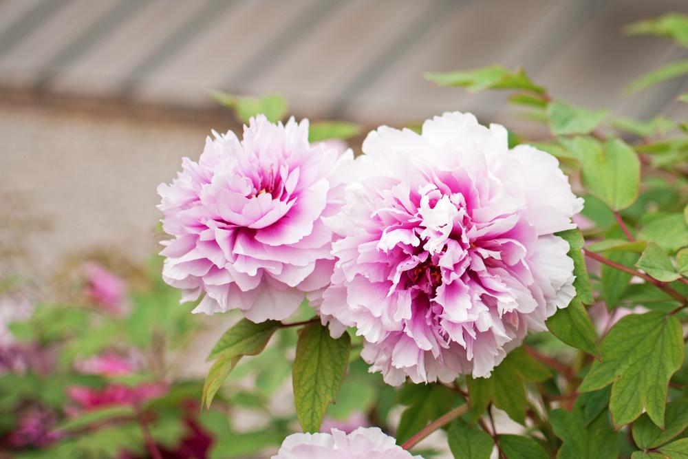 détails de pivoines roses au jardin des simples de Florence