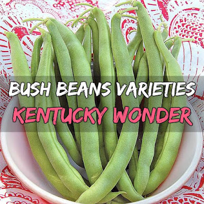 Kentucky Wonder beans