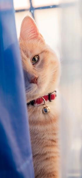 خلفية قطة صفراء تنظر من خلف ستارة زرقاء اللون