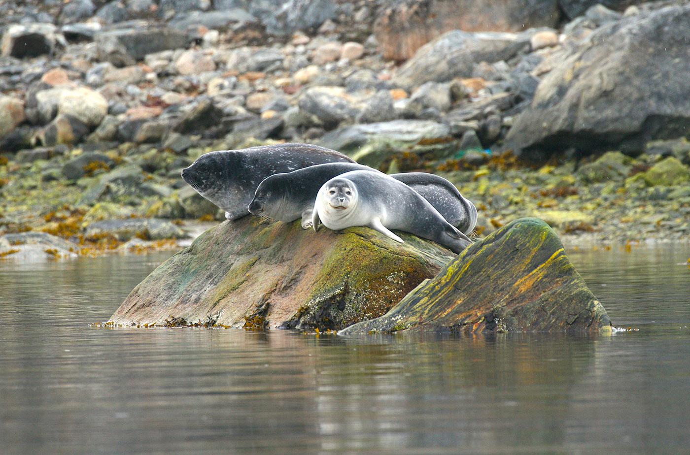 Тюлени на Шпицбергене