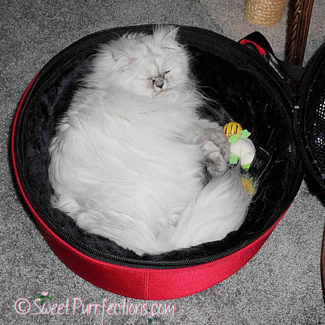 silver shaded Persian cat, Truffle, sleeping in her red Sleepypod
