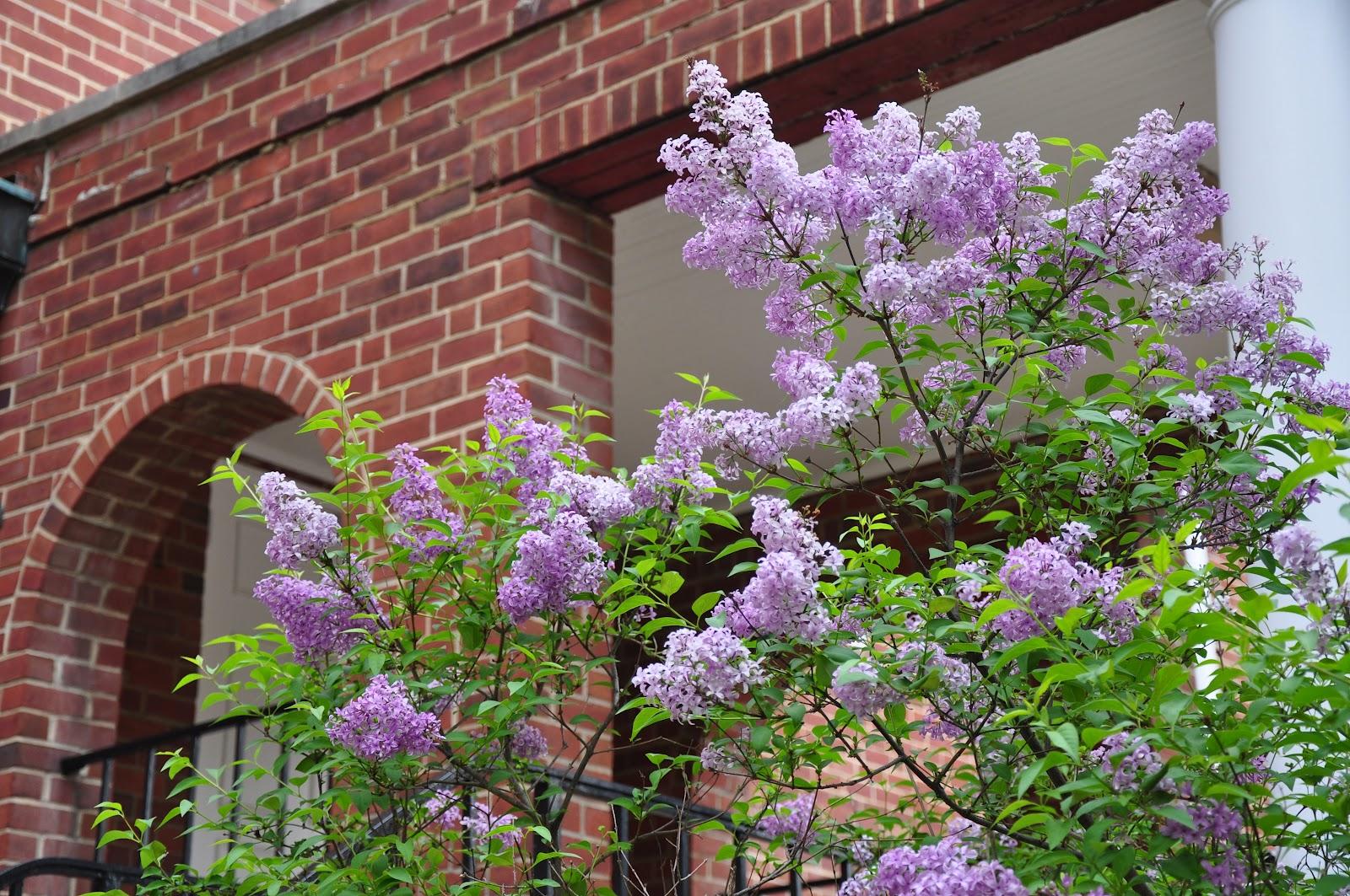 Umd Arboretum And Botanical Garden Persian Lilac A Lilac