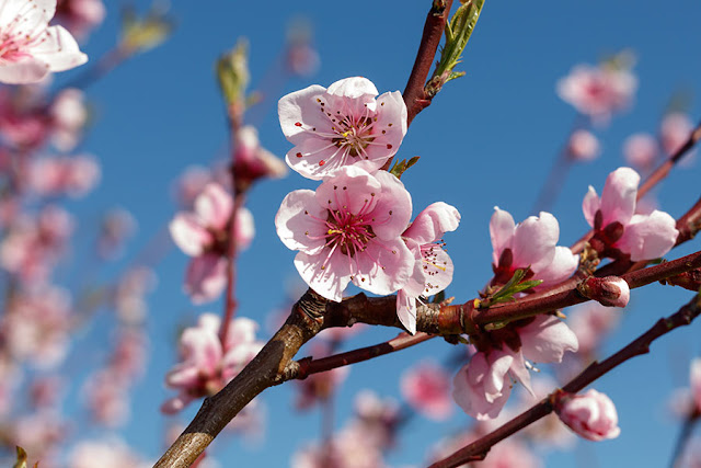 Free Spring Blossom Images
