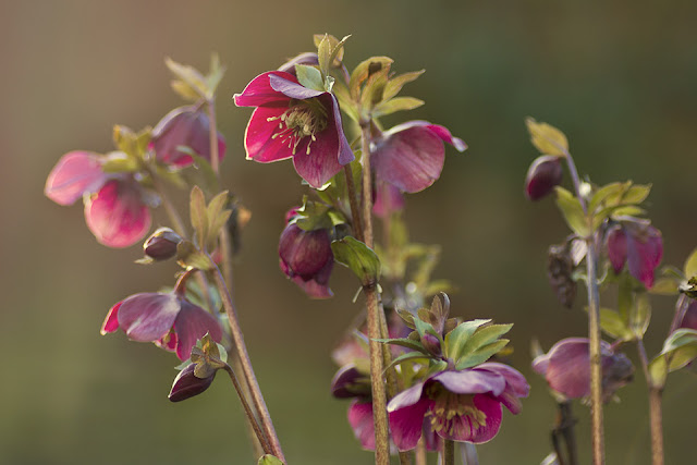 Lenten rose glowing at sunset