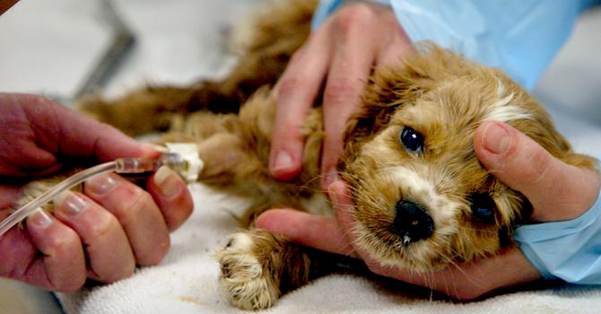tratamiento coronavirus cachorros