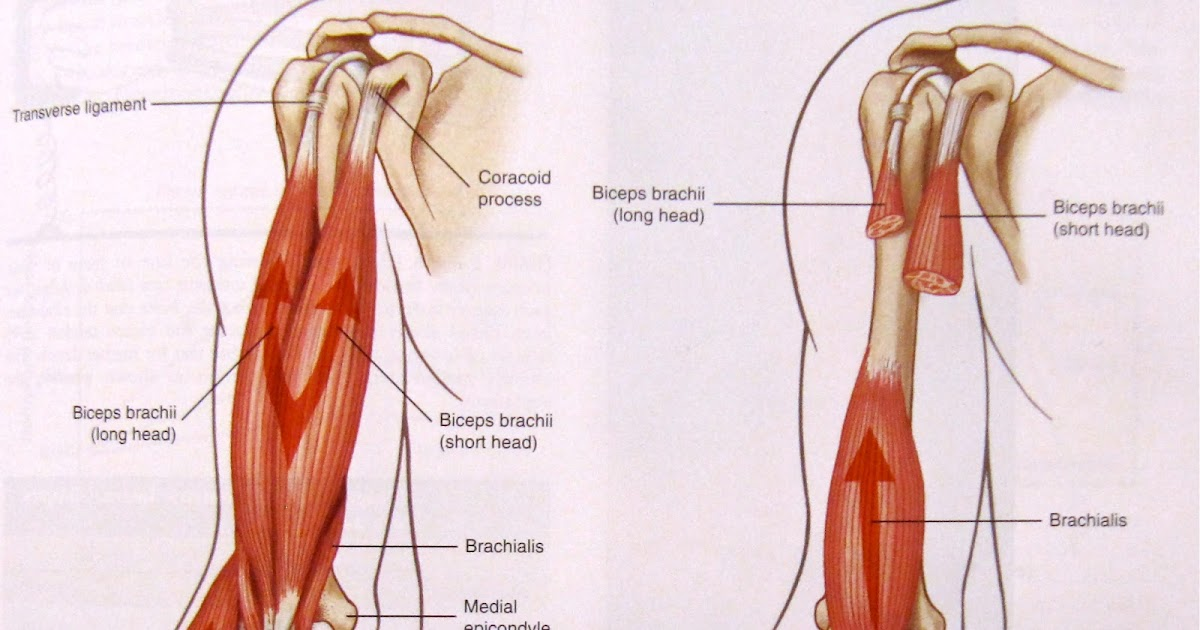 Arm Elbow Tendons And