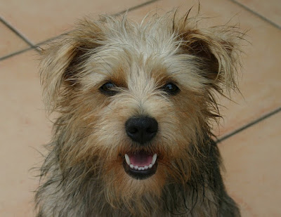 Caring for Your Soft Coated Wheaten Terrier Pet Dog