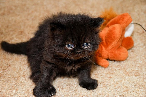 Wallpapers Of Cute Cats And Kittens Funny Picture Clip Cute Baby Cheetah Kitten Mewing Picture