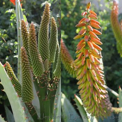 Aloe ferox buds