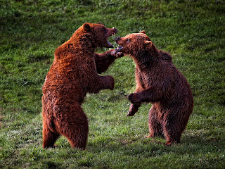 carnivore ursi in lupta