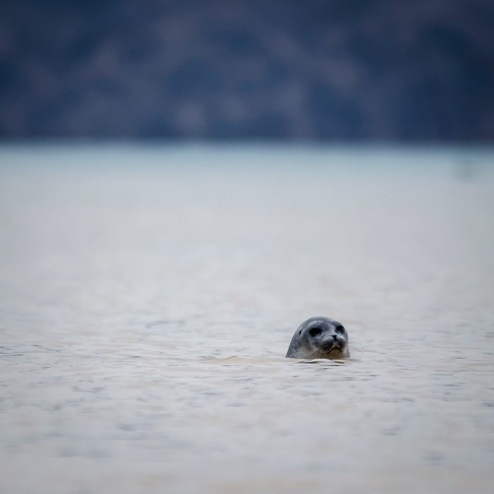 phoque nordenskiold svalbard spitzberg