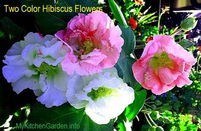 Hibiscus flower and leaves for treating hair loss