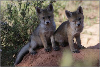 Cachorros de zorro