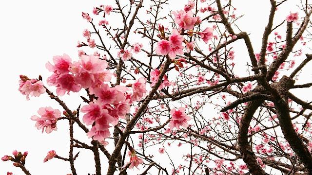 沖縄 本部グリーンパークホテル 桜