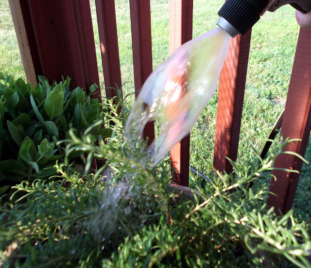 My WAHM Plan: watering Rosemary