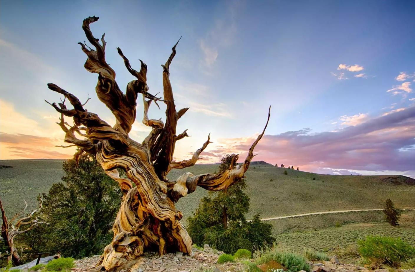 Oldest Living Trees, Methuselah