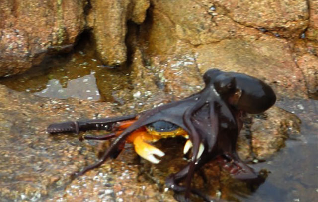 Gurita makan kepiting