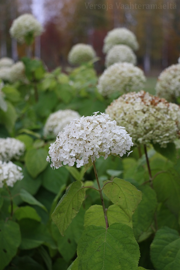 Pallohortensia kukkii yhä vaan, Versoja Vaahteramaelta