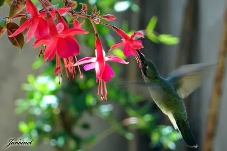 Jardim para beija-flores!