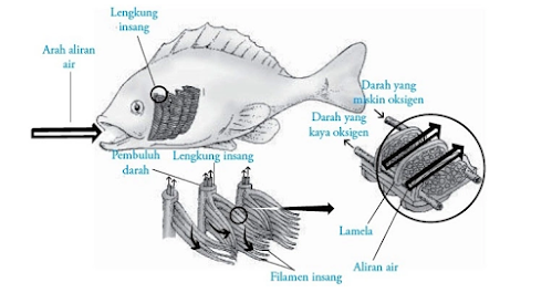 gambar organ ingsang ikan