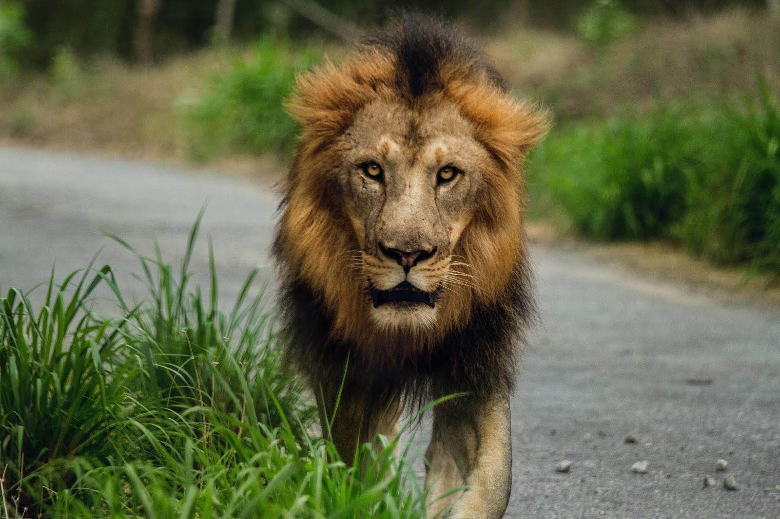 Furious Lion walking down images