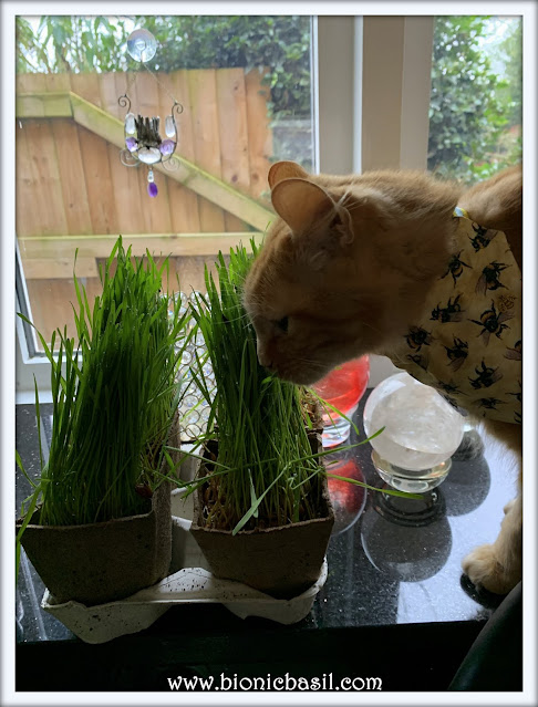 A New Shipment of Cat Grass Arrived ©BionicBasil® The Pet Parade 388