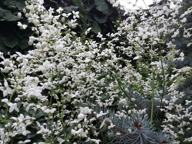 kwiatostan rutewki delavaya