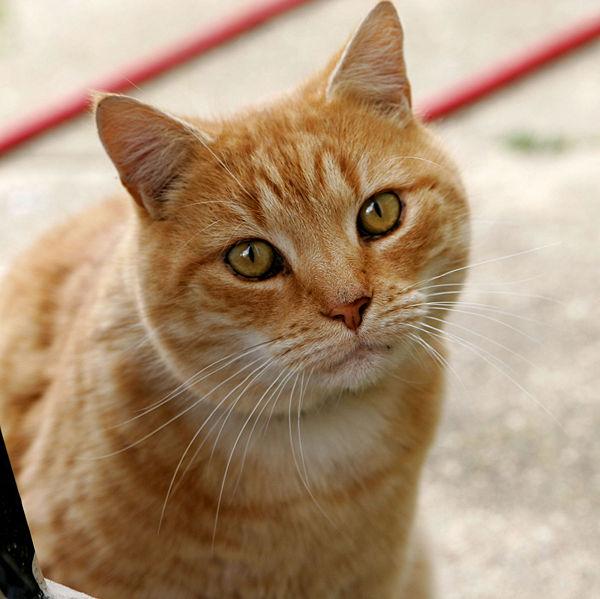 Descrizione gatto domestico - Immagine del gatto a colori ...