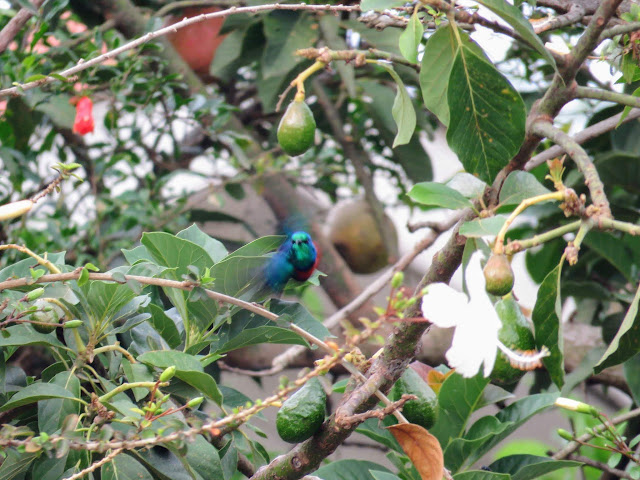 Colorful sunbird at Karibu Guest House in Entebbe, Uganda
