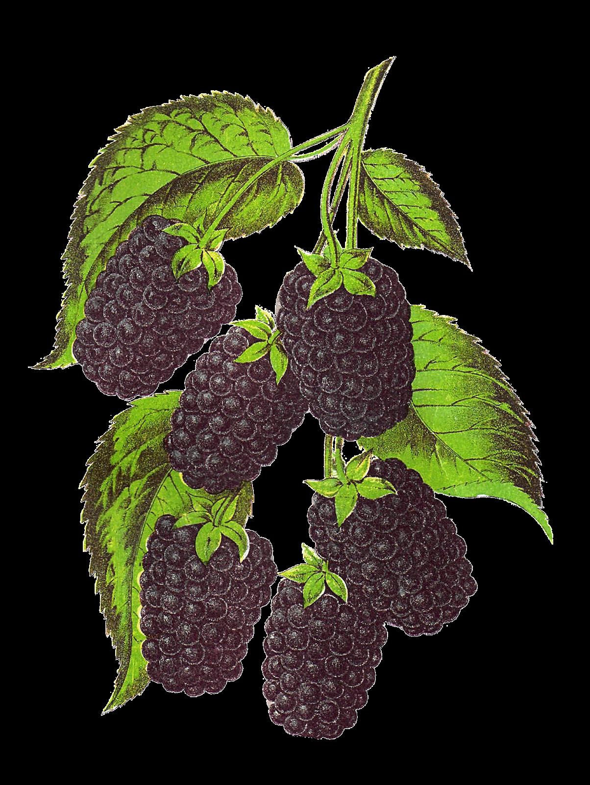 Blackberry fruit clipart