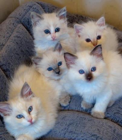 5 Gatitos ojos color azul