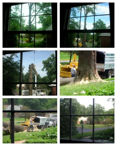 Collage showing a healthy 100-year oak being cut down.