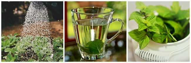 Mint Infused Herb Water