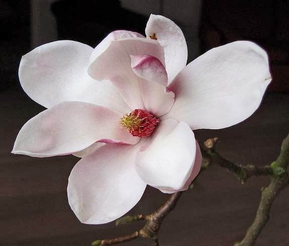 Magnolia Flowers O Wallpaper Picture Photo