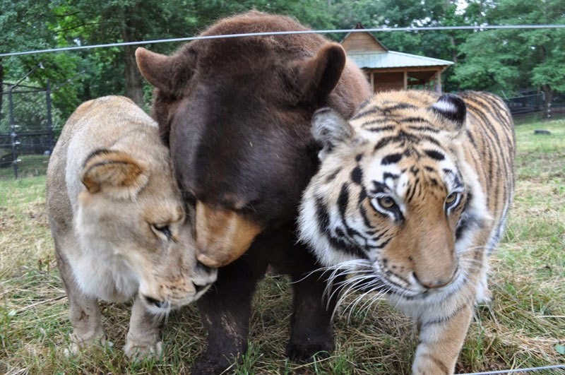 3443de882b38e Read the story of BLT, an inseparable trio of a bear, lion, and tiger here.  Thanks to Ann Voskamp for linking to the story.