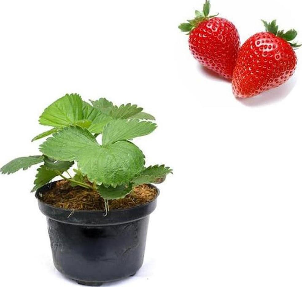beli 2 gratis 1 Bibit Unggul Bibit Buah Strawberry Holland bisa cod Bima