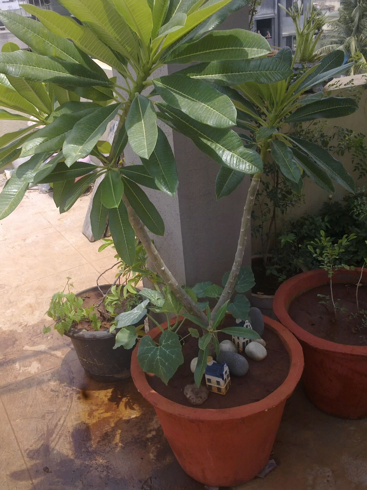 Plants Growing In My Potted Garden.: How To Grow White ...