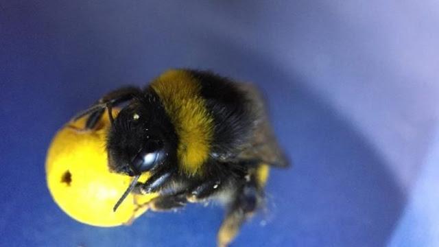 Άγγλοι επιστήμονες που κάνουν έρευνα... Έμαθαν σε μέλισσες να παίζουν ποδόσφαιρο και να βάζουν γκολ!
