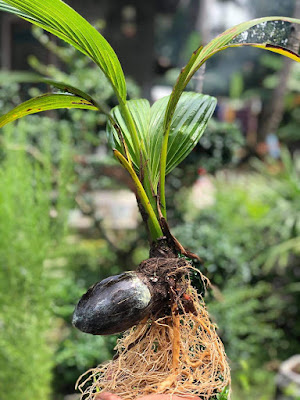 Cara membuat bonsai kelapa