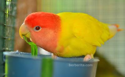 Foto Gambar Warna Burung Lovebird yang Bagus untuk Lomba Sering Juara Gantangan