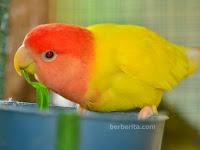 Warna Lovebird yang Bagus untuk Lomba Sering Juara