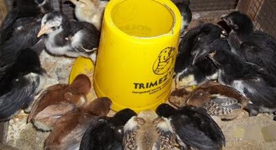 Cara Menambah Nafsu Makan Ternak Ayam