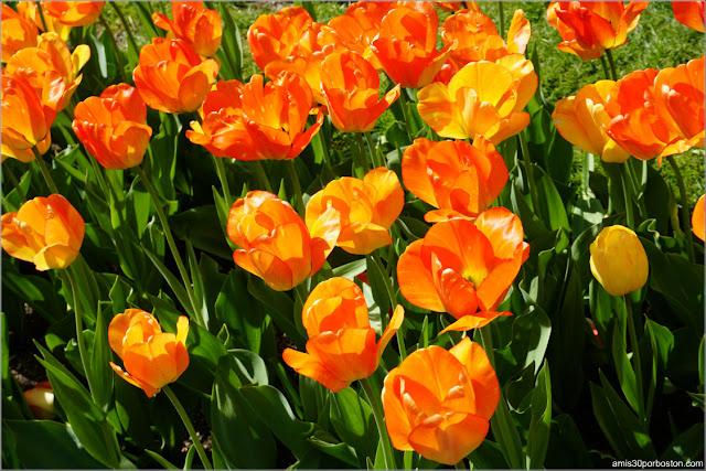 Tulipanes del Boston Public Garden en Primavera