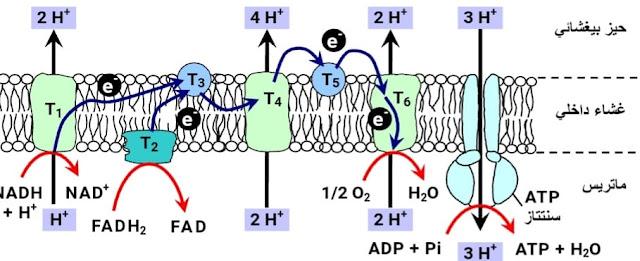 تفاعلات السلسلة التنفسية التفسفر المؤكسد (آلية انتاح ATP)