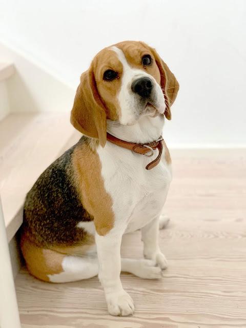 Vores søde beagle hund