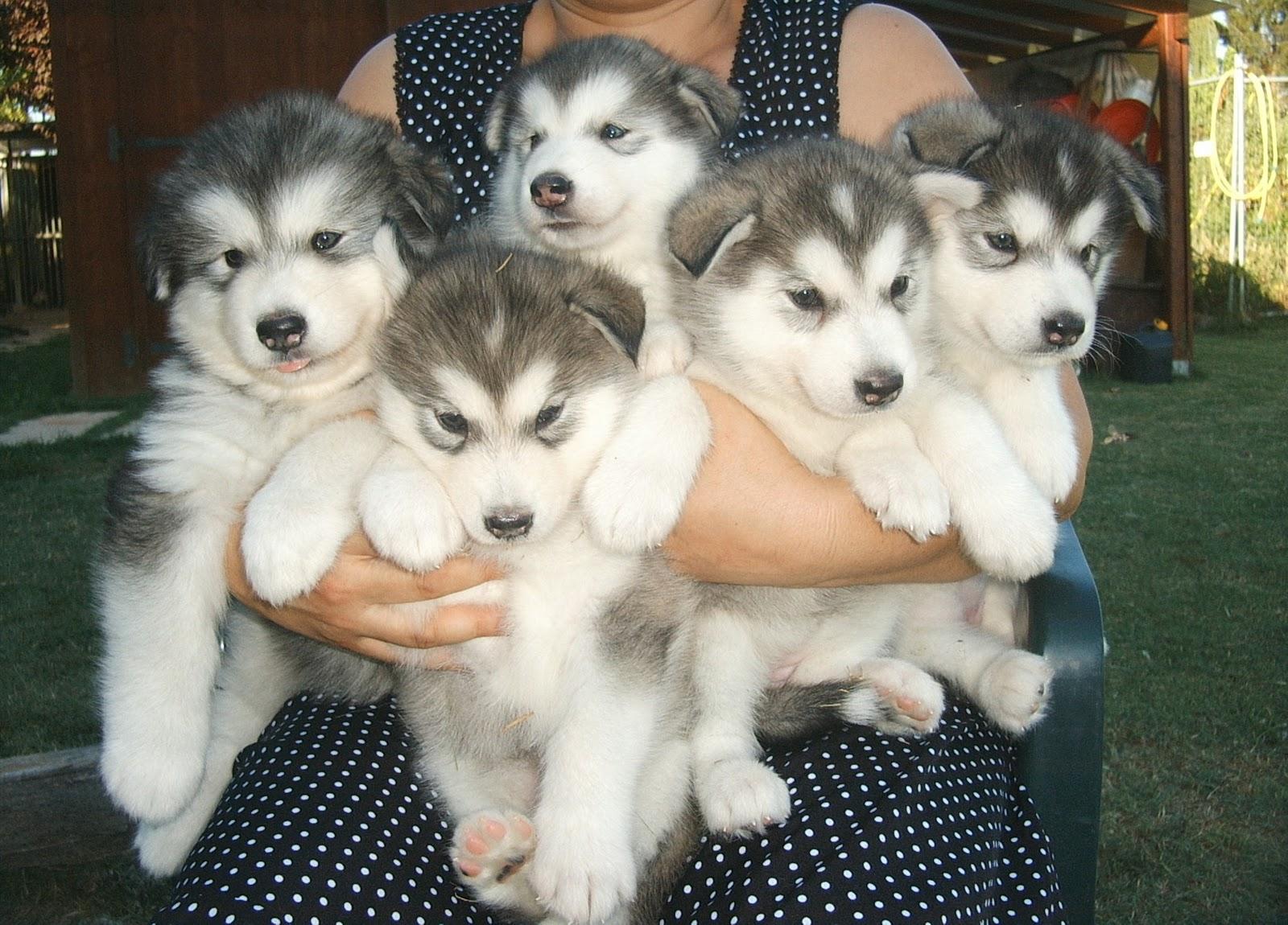 Red Alaskan Husky Puppies
