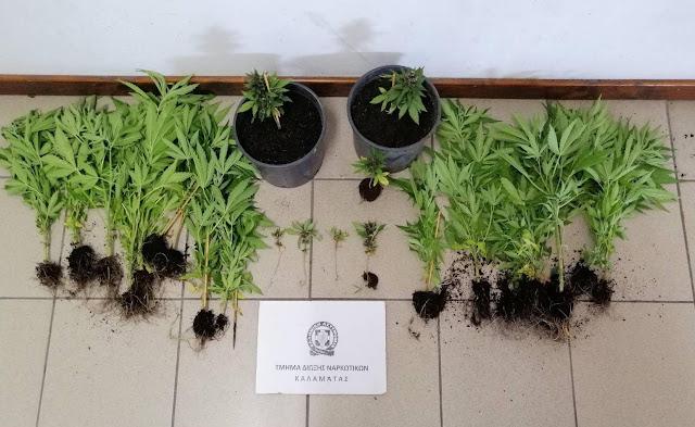 37χρονος στη Μεσσηνία καλλιεργούσε μποστάνι με 29 δενδρύλλια κάνναβης