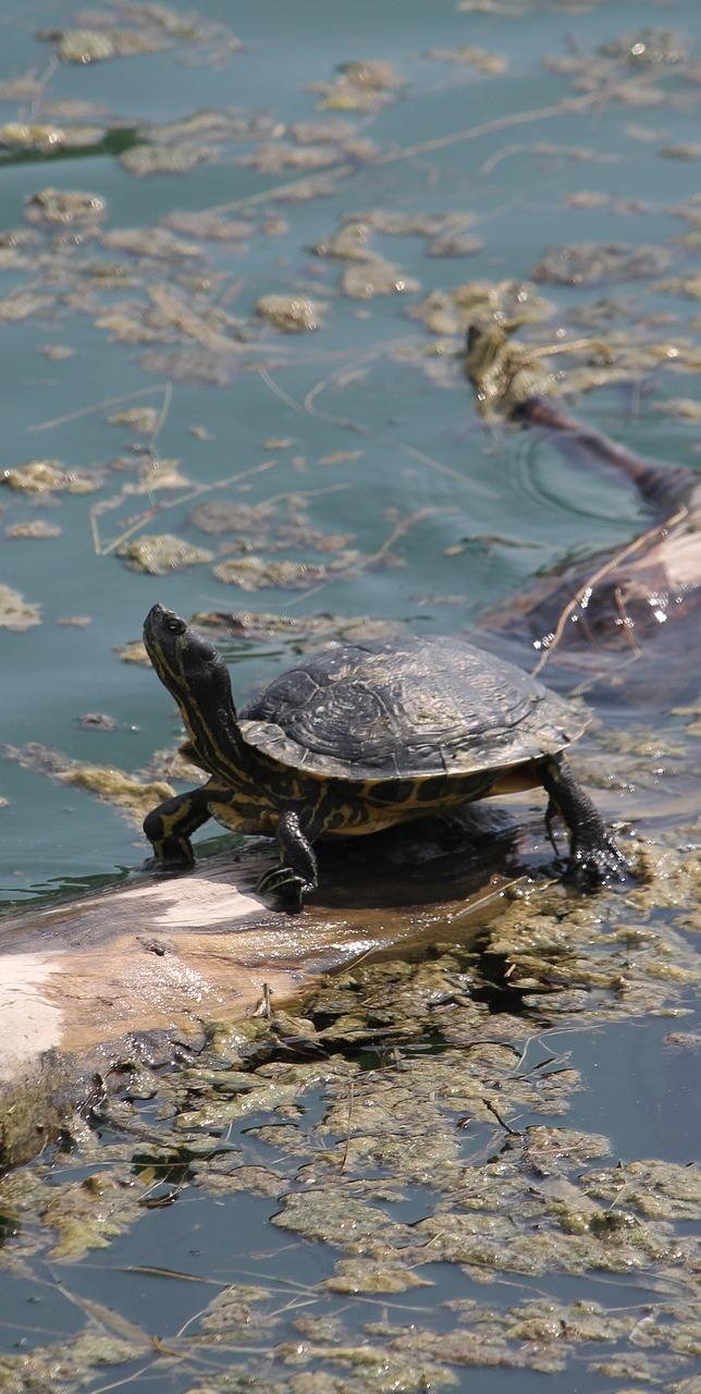 Turtle floating on a log.