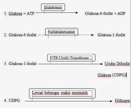 Glikogenesis, Glikogenolisis, dan Glukoneogenesis